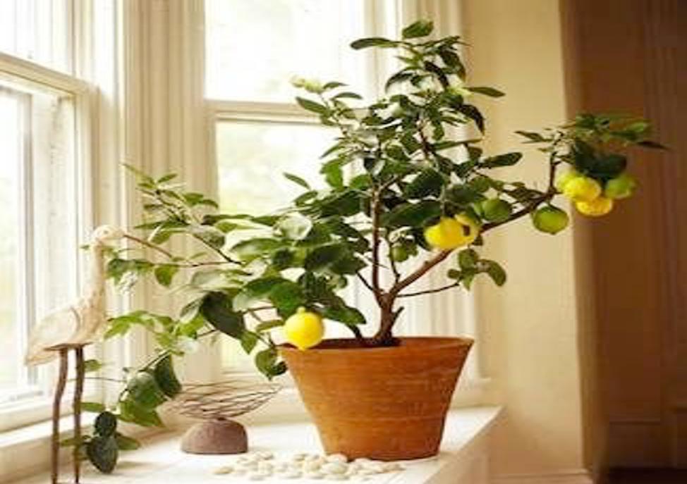 Citrus Tree | Black homesteader