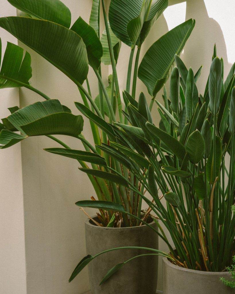 birds of paradise plant | black homesteader