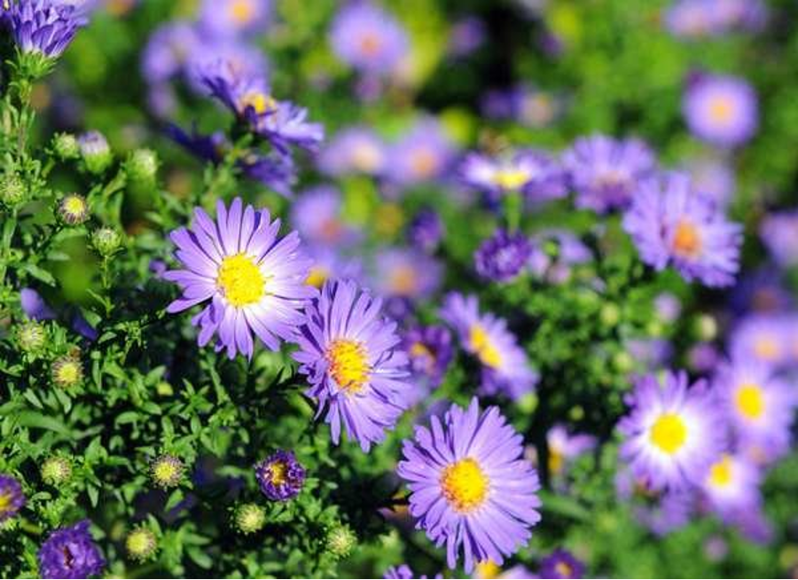Aster Flowers | Black Homesteader