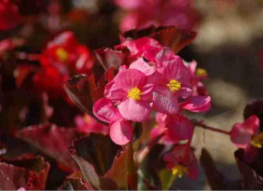 Red Leaf Begonia | Black Homesteader