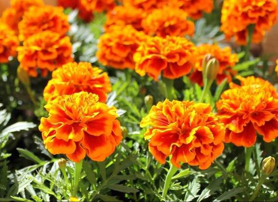 Marigolds | Black Homesteader